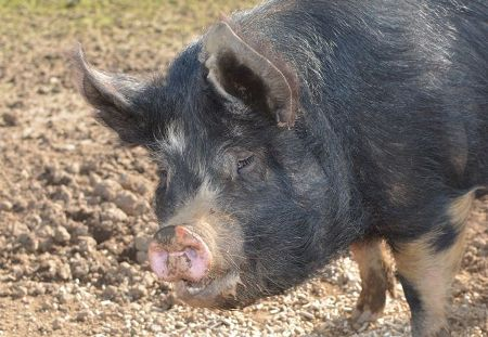 Bracken our Berkshire sow