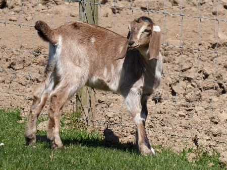 Anglo-Nubian goat kid