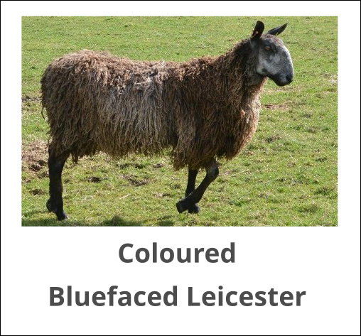 Coloured Bluefaced Leicester